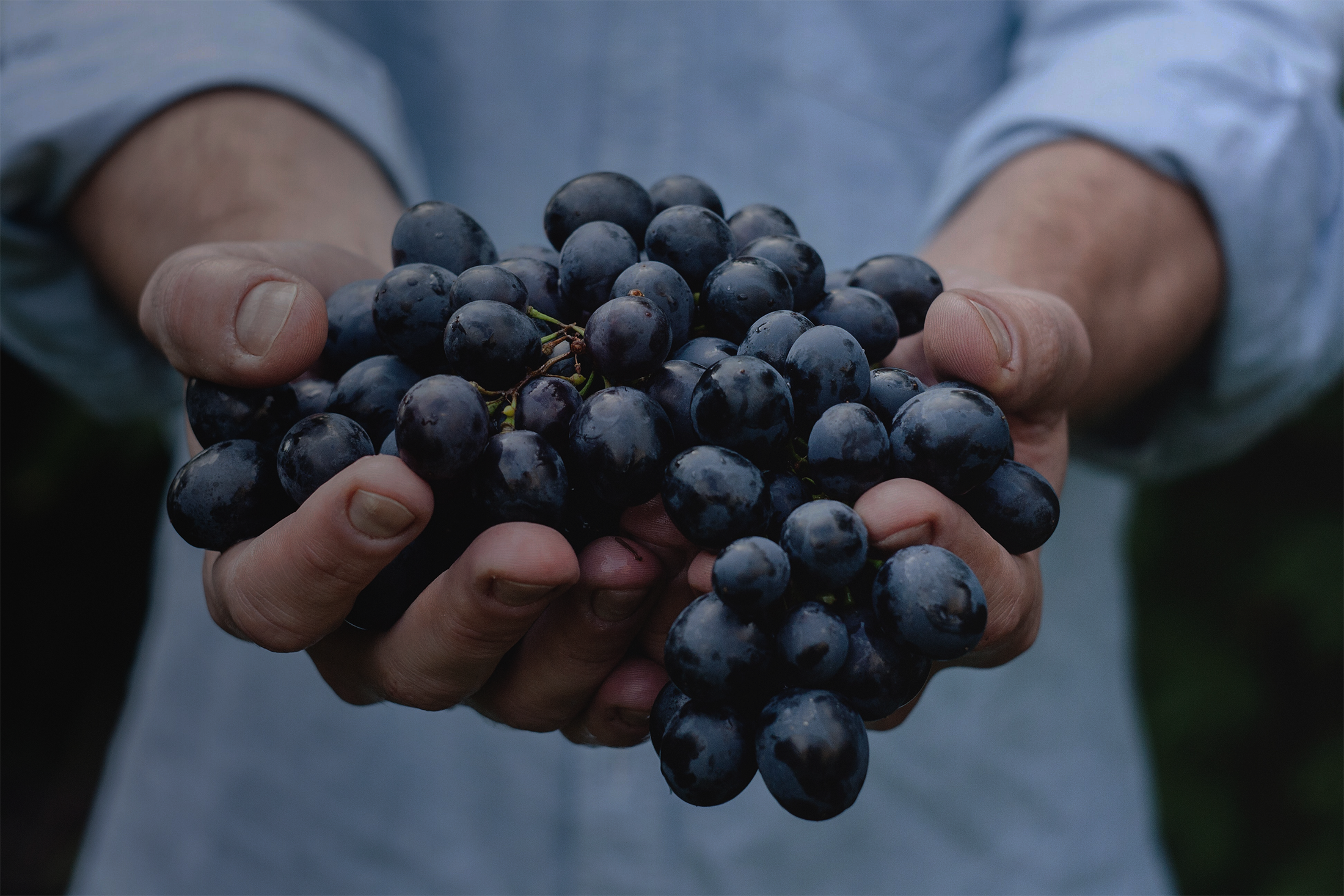 Person holding handful of purple grapes